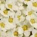 Many white blossoms