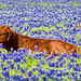 Relaxing in the Bluebonnets