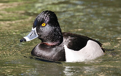 Ring Necked Duck | by dracobotanicus