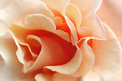Rose Macro / close up - IMG_6996 | by Bahman Farzad