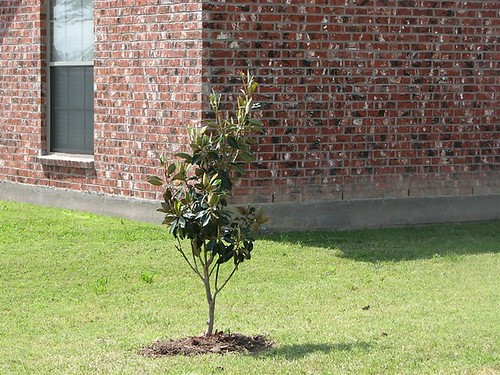 Dwarf magnolia the new tree we planted in the front yard for Best dwarf trees for front yard