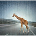 Lost Giraffe on the Highway