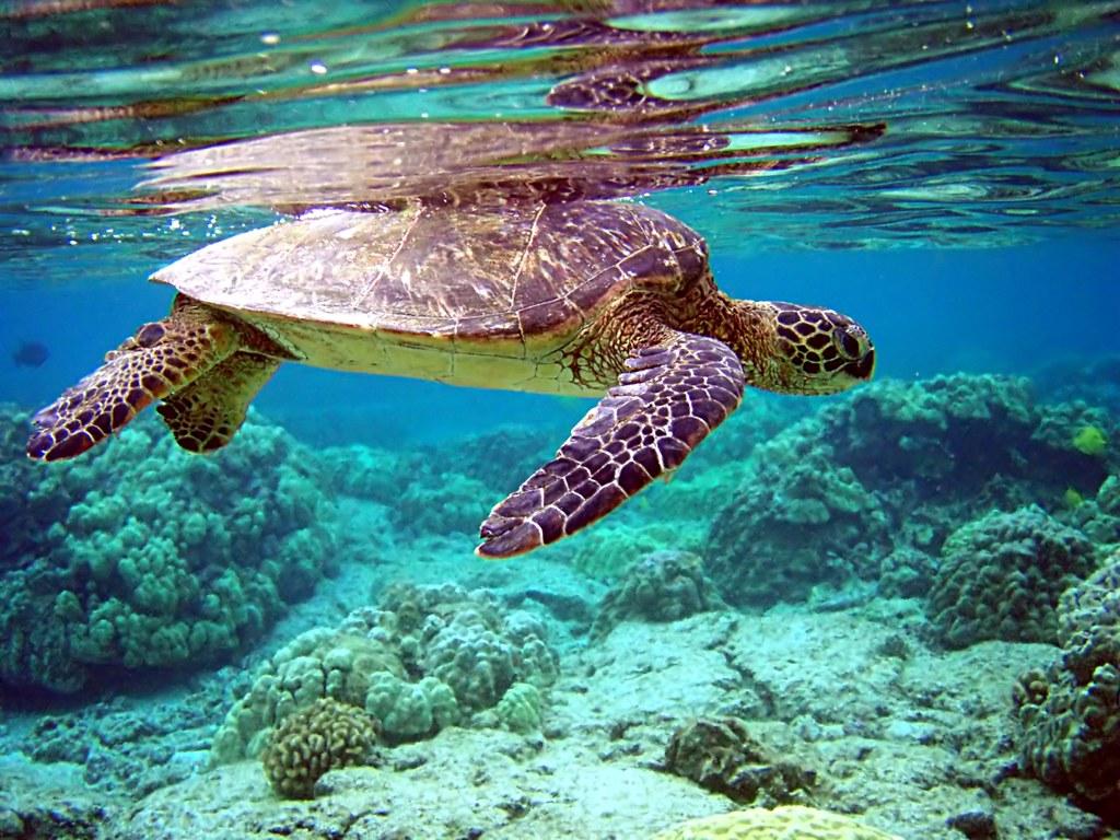 綠蠵龜。圖片來源:Jim Trodel @Flickr,圖片符合CC授權使用。