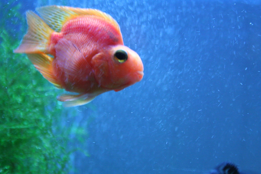 Parrot Cichlid   Purple parrot cichlid from the 55 gallon ...
