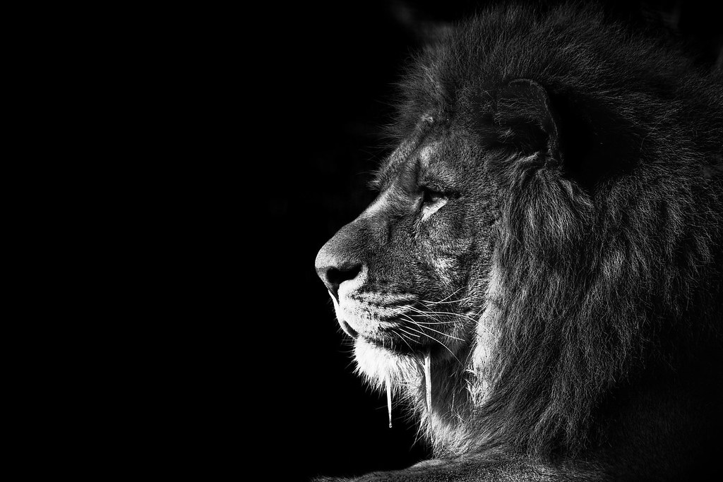 Lion King Bw This Is The Previous Image Of The Adult