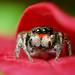 Adult Male Jumping Spider Hiding in Leaves - (Habronattus coecatus)