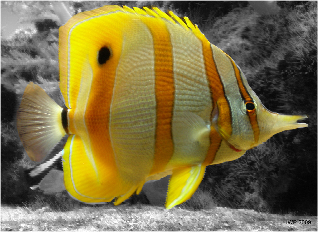 Yellow tropical fish ian peacock taking time out flickr for Polygonalplatten quarzit tropical yellow