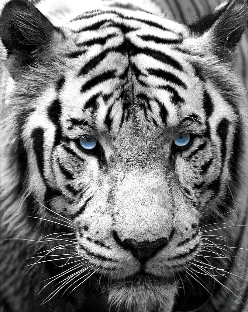 Black And White Tiger Face With Blue Eyes