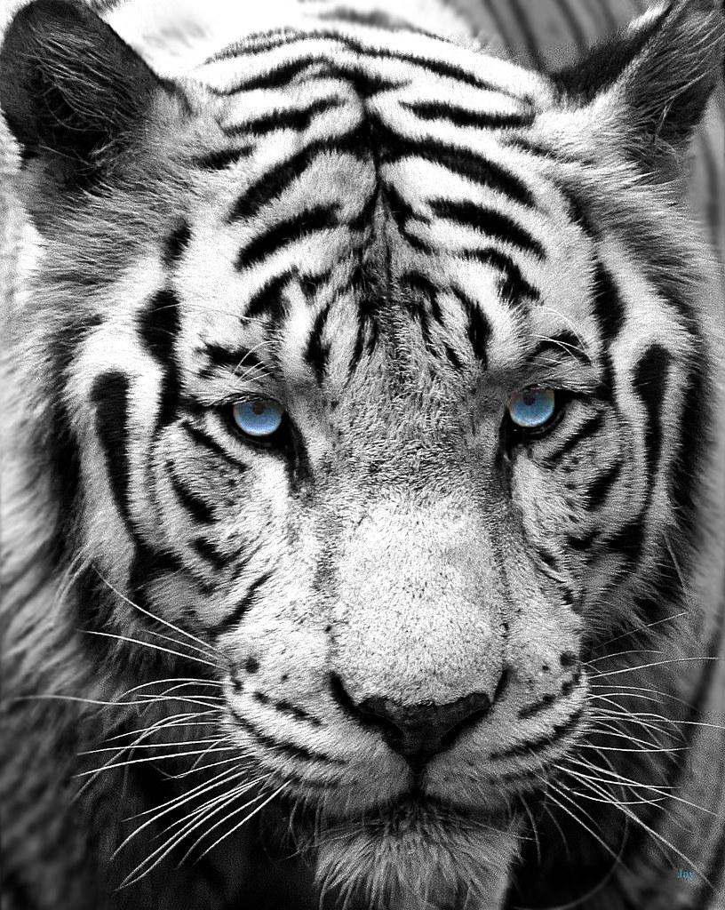 White Tiger | @Singapore Zoo | Jayakumar Victor | Flickr