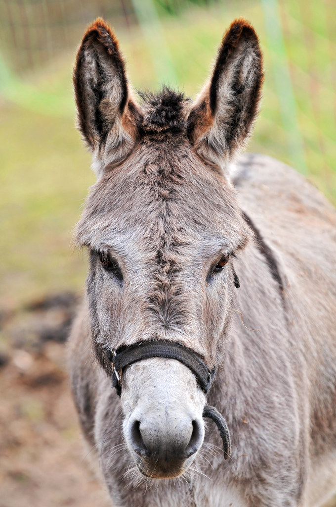 Cute Gray Donkey Portrait Of A Female Donkey I Saw Last