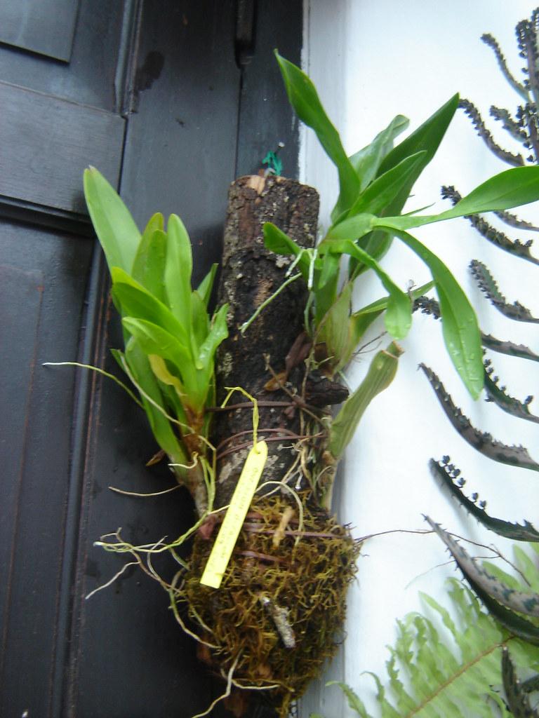 Oncidium bifoliae La especie conocida como \u0026quot;or\u2026