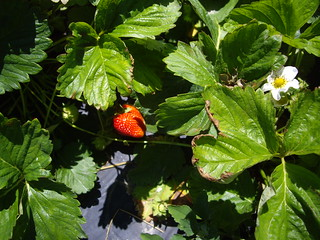 Strawberry Plant at Hann Farms | by swampkitty