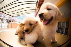 Golden retriever Puppy | by kim_zhai