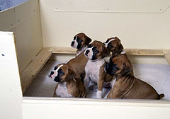 boxer pups2 | by Contra Costa Times