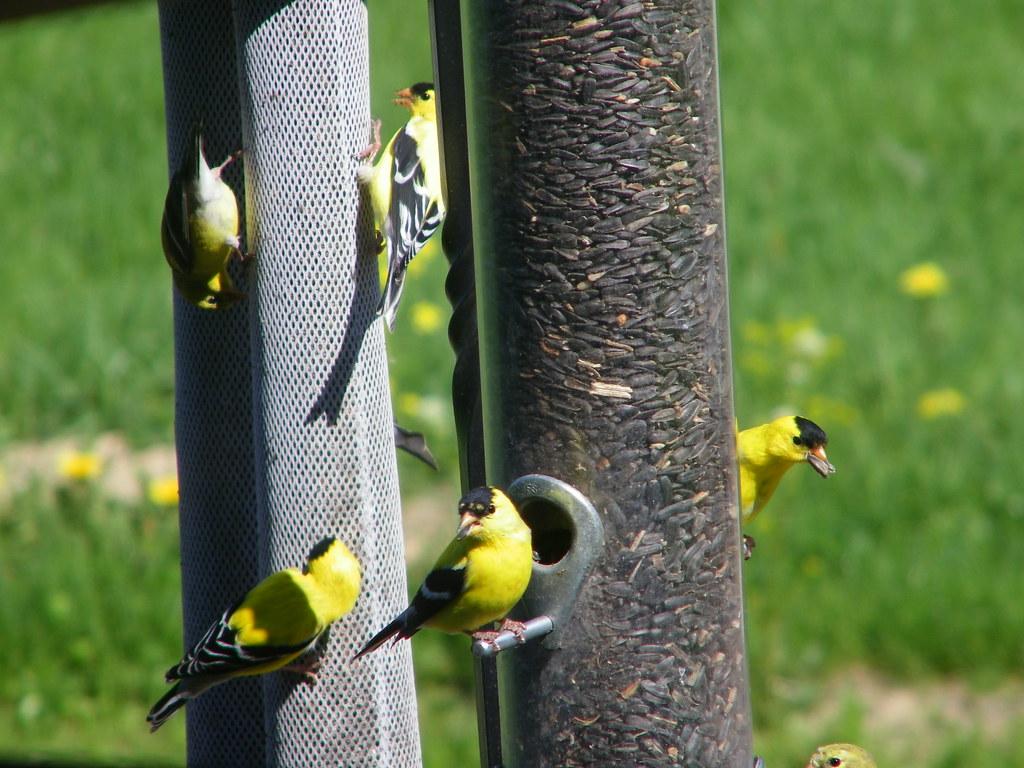 Bird in the Backyard (Saline, Michigan)   All sorts of ...