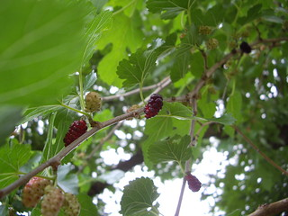 Mulberries 6/18/09 | by swampkitty