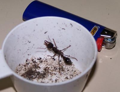 Queen Ant Actual Size Queen Ant Actual Size