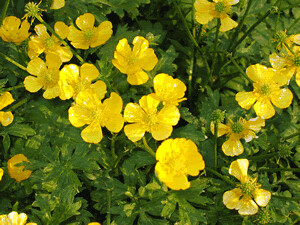 Rununculus repens (Creeping Buttercup)
