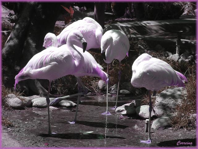 purple flamingos. | Flickr - Photo Sharing!