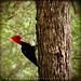 Carpintero Lomo Blanco / Cream-backed Woodpecker