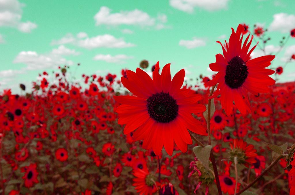 red sunflower | Miguel Nunez | Flickr