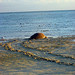 Turtles laying eggs on Heron Island