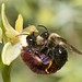 Andrena morio