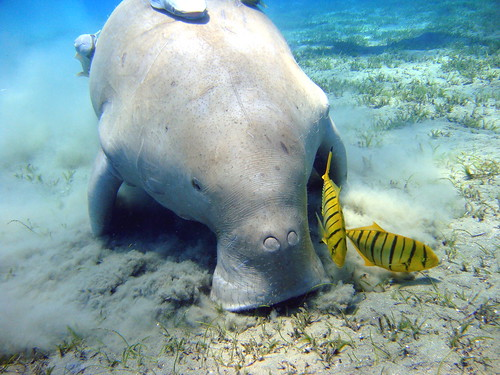 Dugong | by flickkerphotos