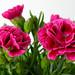 Re-Carnation