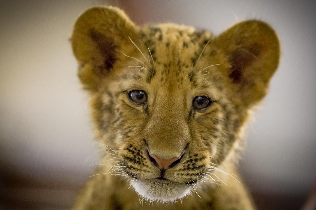 IMG_0670 | liliger cub | Ricky Floyd | Flickr