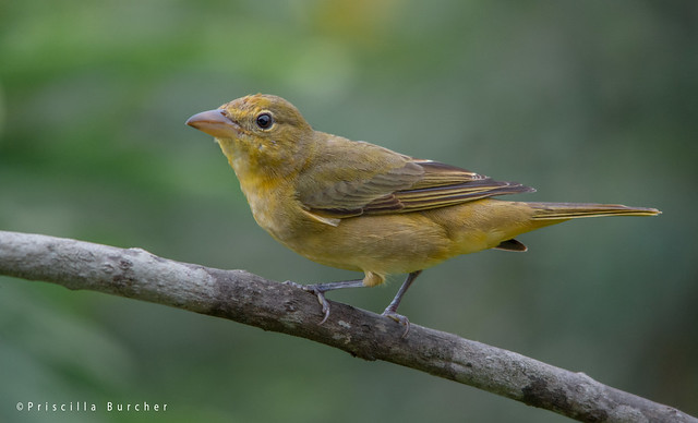 Juvenile summer tanager - photo#5