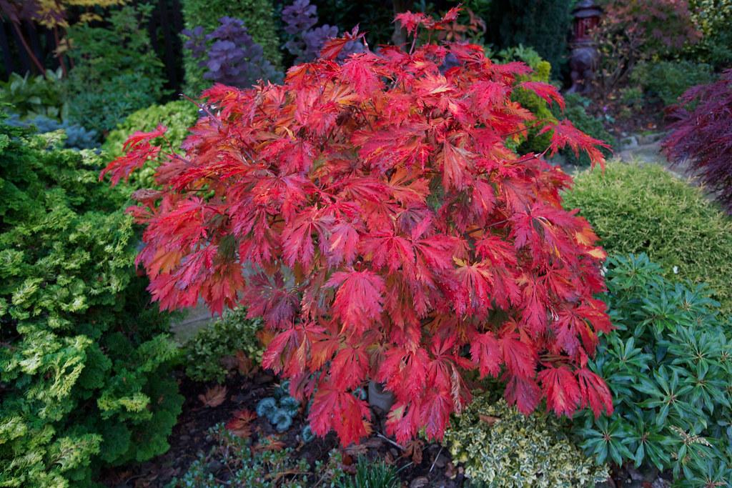 acer japonicum aconitifolium in autumn the 39 fern leaf. Black Bedroom Furniture Sets. Home Design Ideas