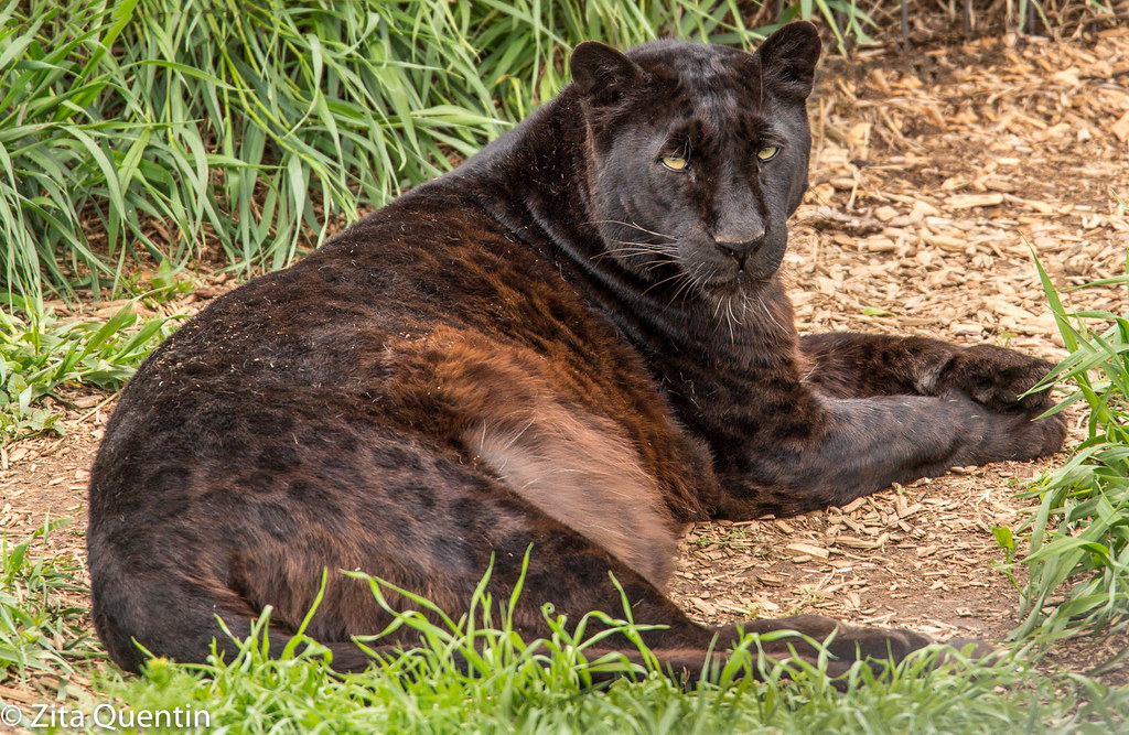 Eddy The Black Leopard And His Beautiful Spots Eddy Is