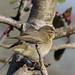 Pouillot véloce (Phylloscopus collybita)-2.jpg