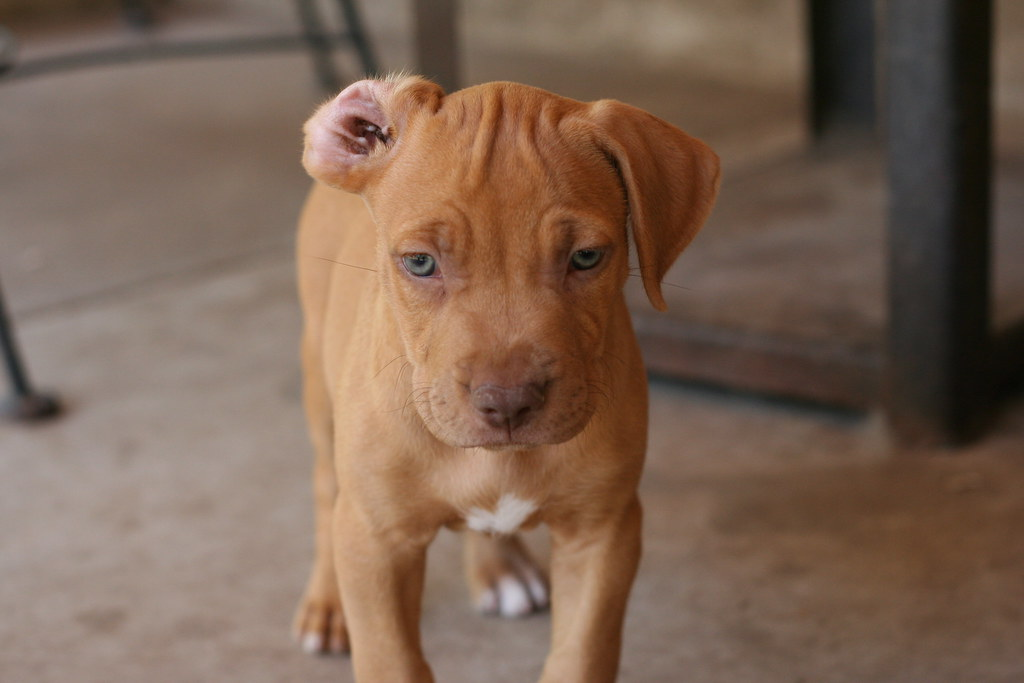 Red Nose/Blue Nose Pitbull Puppy | too cool | texbeck | Flickr