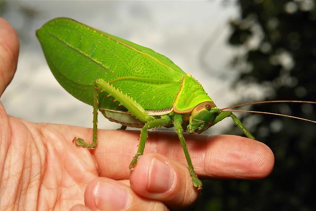 Giant False Leaf Katydid (Pseudophyllus titan ...