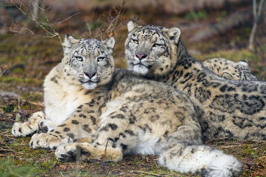 Image Result For Snow Leopard Cub