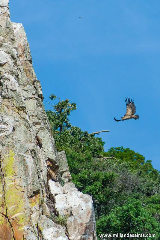 Aterrizaje de uno de los buitres que sobrevuelan la zona