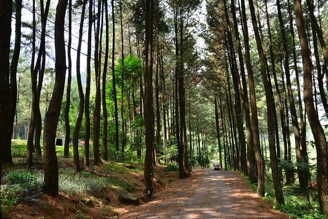Hutan pinus, gunung pancar sentul