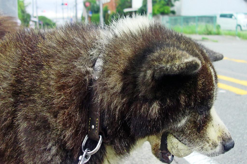 Akita Dog For Sale Ottawa