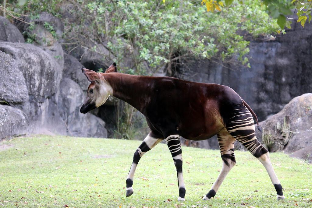 Okapi Okapia Johnstoni Okapi Is A Giraffid Artiodactyl
