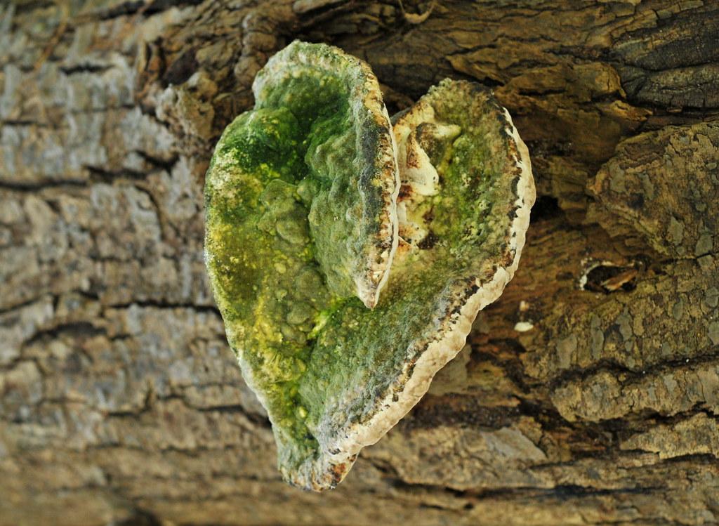 Heart-Shaped Fungus | A colorful shelf fungus on a downed ...