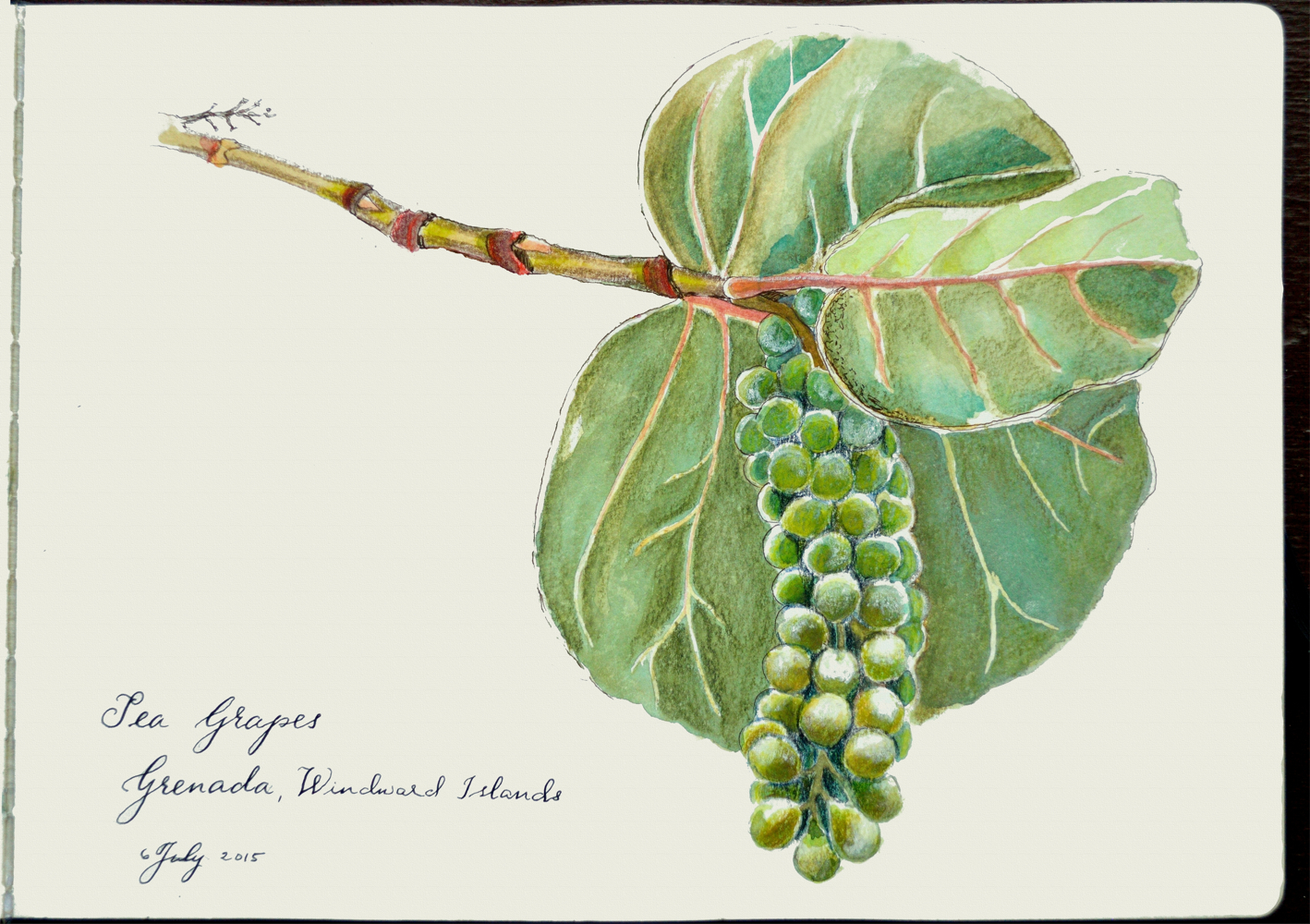 Coccoloba uvifera (sea grapes) in Grenada, West Indies