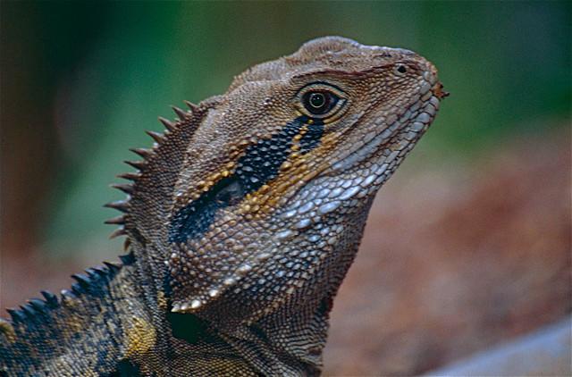 Australian Water Dragon: Australian Water Dragon (Physignathus Lesueurii) Male