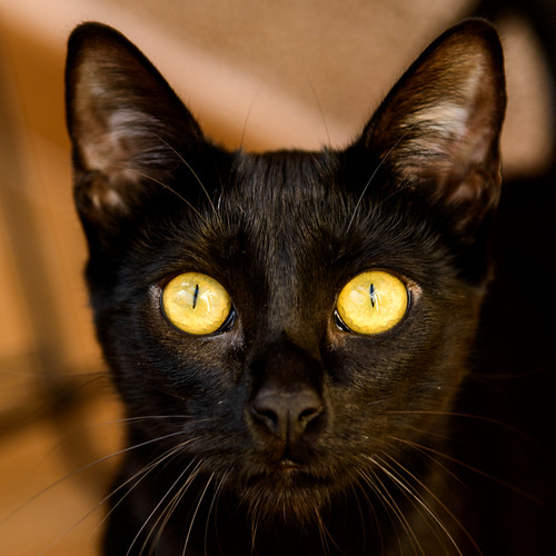 Selva, gatita Pantera guapa, estilizada y divertida esterilizada, nacida en Mayo´16, en adopción. Valencia. ADOPTADA. 32605813900_fe6feb8d5c