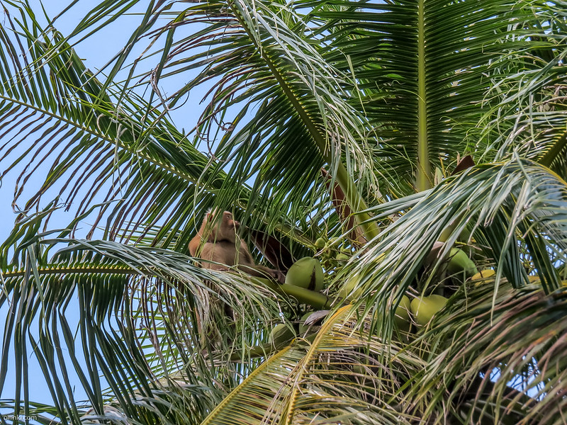 Monkey up in the coconut tree