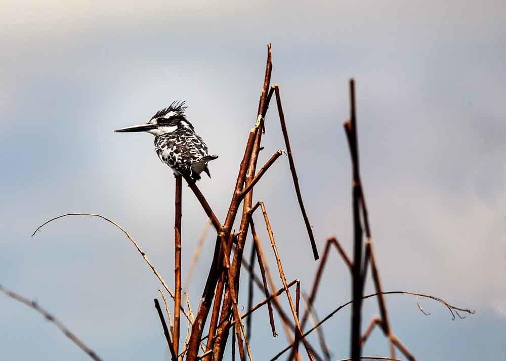 kingfisher 1493