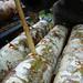 inoculating shiitake logs