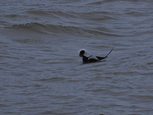 Male Long-tailed Duck preening