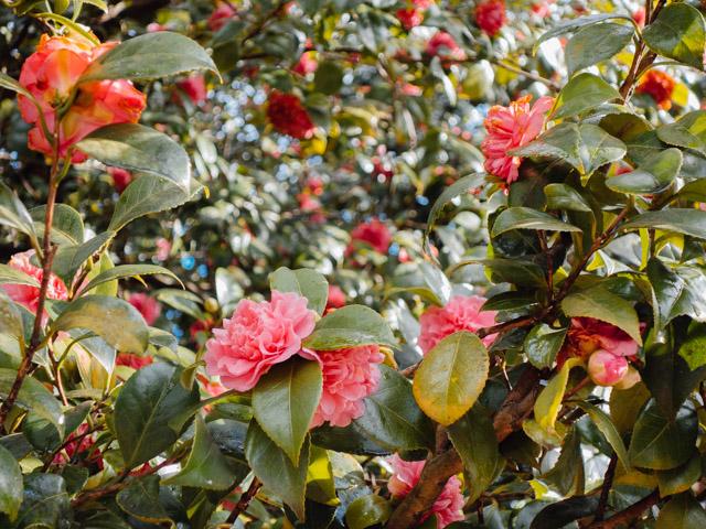 pink camellia bush